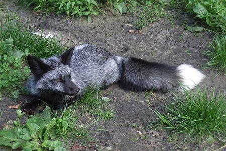Srebrny lis
