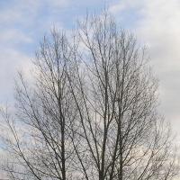 Takie sobie drzewa. Fot. Cyp na licencji GFDL, z Wikimedia Commons