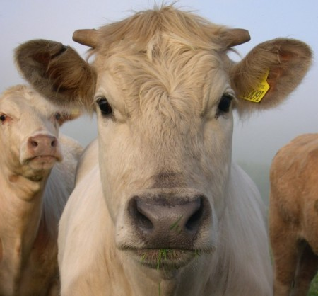By Pikaluk (Flickr: One Gorgeous Cow) [CC-BY-2.0 (www.creativecommons.org/licenses/by/2.0)], via Wikimedia Commons
