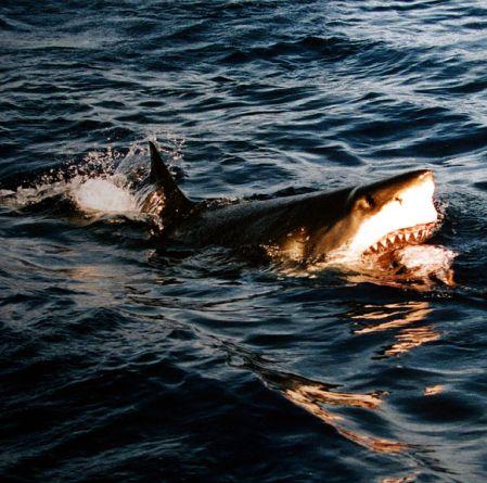 Żarłacz biały. Fot. Mila Zinkova, z Wikimedia Commons na licencji GFDL.